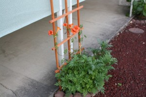 orange trumpet vine and marigolds not blooming yet