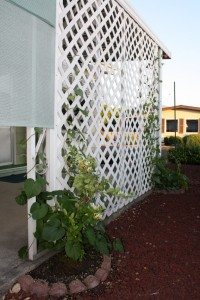 white honeysuckle and morning glories on the trellis